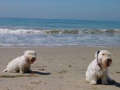 Page 2 of Sealyham Terrier Pictures | Sealyham Terrier Dog, Puppy Photos & Pics | Petstew.com