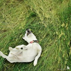 jack russell terrier   ---Ours always does this!