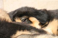 Nyima Tibetan Mastiff, Dogs, Animals, Animales, Animaux, Pet Dogs, Doggies, Animal, Animais