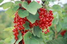 red currants  #shade #perennial #edible #fruit - need some of these in our yard