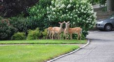 Dad's Trick: How to Keep Deer Out of Your Garden Or Yard - Tyrant Farms Deer Resistant Landscaping, Deer Resistant Garden, Deer Resistant Perennials, Homemade Deer Repellant, Deer Repellant Plants, Garden Poems, Deer Fence, Forest Garden, Garden Images