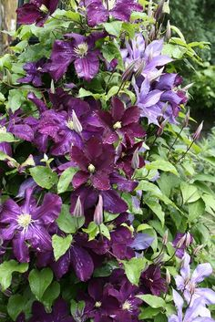 All You Need To Know About Growing Clematis in Your Garden