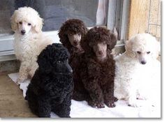 Bar King Miniature Poodle Puppies - So lovely!