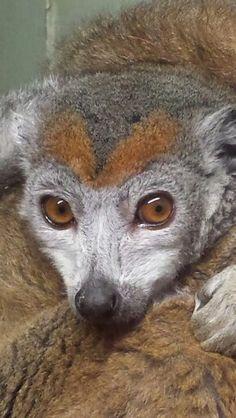 Kroonmaki (crowed lemur)