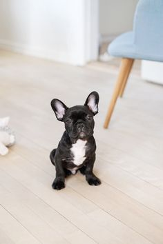 puppy / french bulldog
