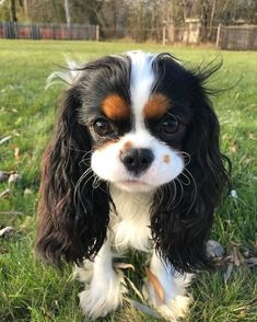 that look they give you if you have had or have a Cavvie you will understand. #CavalierKingCharlesSpaniel