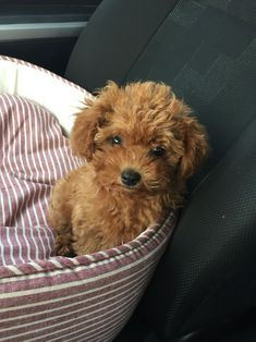 Mocha the red Poodle micro toy #Poodle