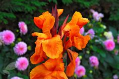 Buy Indian shot bulb Canna 'Wyoming': Delivery by Crocus