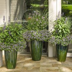 Imagine this cool trio decorating your poolhouse or patio this summer... Get this modern take on container gardening in full sun using tall, glazed ceramic urns, Snowstorm Blue Bubbles bacopa for a filler/spiller, and these three thrillers: Playin' the Blues salvia, Blue Mohawk juncus and Meteor Shower verbena.