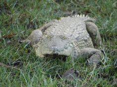 The #crocodiles of #Saadani in the Wami River blend in with the grass very well