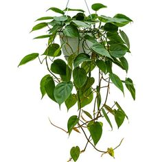 A very popular houseplant, the heartleaf philodendron is really easy to grow. Buy it online for delivery on overnight courier service. Best Indoor Hanging Plants, Indoor Palm Trees, Bamboo Plants, Green Plants, Growing Flowers, Planting Flowers, Philodendron Scandens, British Garden, Low Light Plants