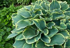 Hostas - great perennials  that get better with age!