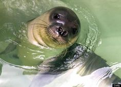 With less than 400 remaining, the Mediterranean Monk Seal is one of the rarest animals on the planet.