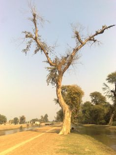 Image result for y shaped tree
