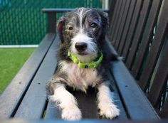 PetHarbor.com: Animal Shelter adopt a pet; dogs, cats, puppies, kittens! Humane Society, SPCA. Lost & Found.  BOOTS - ID#A1115982    I am an unaltered male, black and white Jack (Parson) Russell Terrier.    The shelter staff think I am about 4 years old.    I weigh 19 pounds.    I was found in NY 10038.    I have been at the shelter since Jun 20, 2017.     This information is 3 hours old.