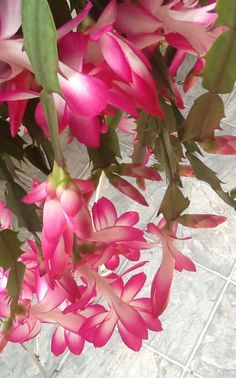 Christmas - Thanksgiving - Easter cactus Christmas Cactus Plant, Easter Cactus, Orchid Cactus, Cactus Flower, Agaves, Catus Plants, Drought Resistant Plants, Cactus Y Suculentas, Plantar