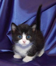 scottish fold munchkin kittens for sale Cute Cats
