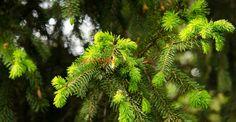 Cum se face siropul de brad (sau pin) şi la ce ajută | Paradis Verde