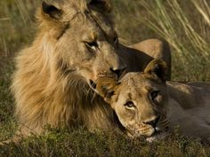 Male And Female African Lions, Panthera by Mattias Klum Lions South Africa, National Geographic Archives, Lion Photography, Lion Love, Round The World Trip, Exotic Cats, Wild Nature, Big Cats, Animal Pictures