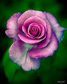 Pink and Red Rose   Backyards Click