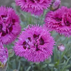 Bloomin Designs Nursery - DIANTHUS 'Spiked Punch' PPAF  (30)ct Flat, $141.55 (http://bloomindesigns.com/dianthus-spiked-punch-ppaf-30-ct-flat/)