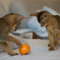 clementine #kittens