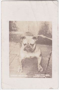 "Portrait of a Bulldog "" Grane Marcus"" original old photo postcard c 1910"