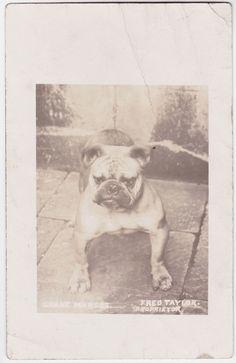 "Portrait of a Bulldog "" Grane Marcus"" original old photo postcard c 1910"
