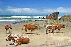 Transkei cattle and the Jacaranda shipwreck - South Africa. Some time ago when the wreck was more intact I was privileged enough to climb on board. There is barely anything left now. African States, Friesian, Cattle, Landscape Photography, Landscape Art, Beautiful Creatures, Pet Birds, South Africa, Cows