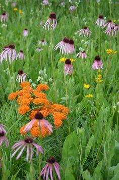 Prairie Moon Nursery :: Seeds :: Asclepias tuberosa (Butterfly Weed)