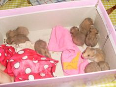 My 9 babies hamsters Hamster Stuff, Baby Hamster, Cute Hamsters, Ipad, Teen, Babies, Animals, Design, Babys