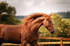 Elisabeth Panepinto Photography Elegido - Pure spanish horse. At Yeguada Aqualia Chestnut stallion  #equinephotography #purraceespagnol #spanishhorse #chestnut