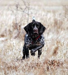 Nice staunch point by a young German Shorthaired Pointer