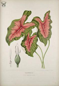 Common Caladium. Caladium bicolor. Fleurs, fruits et feuillages choisis de…