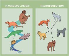 Evolution: Microevolution v.s. Macroevolution