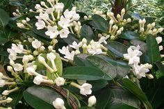 ☑︎ Doftranka - Växten är sannolikt ofarlig
