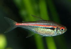 Hyphessobrycon amapaensis Saltwater Aquarium Fish, Tropical Aquarium, Planted Aquarium, Tropical Fish, Tropical Freshwater Fish, Freshwater Aquarium Fish, Tetra Fish, Fish Fish, Cool Fish Tanks