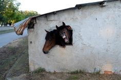 VENTANA PARA DOS: Los caballos miran hacia fuera de una ventana de su establo cerca del pueblo de Ponto Iraklia, Grecia, mayo de 2016. REUTERS / Marko Djurica