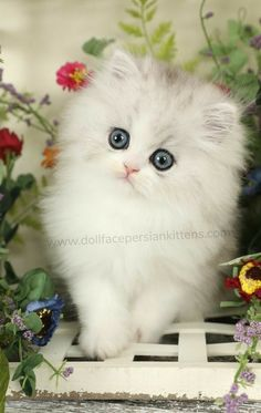 Kittens Cutest, Cats And Kittens, Cute Cats, Teacup Persian Kittens, Exotic Shorthair, Stylish Girls Photos, Sea Creatures, Fantasy Art, Cute Animals