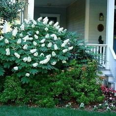 Hydrangea Oakleaf Bush Seeds (Hydrangea quercifolia) - Under The Sun Seeds - 1 Oakleaf Hydrangea, Types Of Hydrangeas, Plants, Shade Garden, Garden Types, Tree Seeds, Trees And Shrubs, Outdoor Gardens, Container Gardening Shade