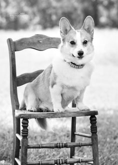 Homer the Corgi, 2016 Philly Area Corgi Picnic by Annmarie Young Photography