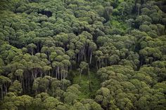 Rainforests are the earth's oldest living ecosystem, and the planet's natural water reserve with a minimum annual rainfall of 1,750-2,000 mm (68-78 inches).