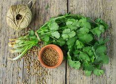 Pěstování bylinek:Koriandr Cilantro Herb, Coriander Cilantro, Coriander Leaves, Fresh Coriander, Parsley, Coriander Spice, Coriander Seeds, Herb Seeds, Garden Seeds