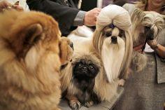 Cani di razza durante una conferenza stampa a New York per presentare la 142esima edizione del concorso di bellezza per cani Westminster Kennel Club Dog Show, che inizierà a New York il 12 febbraio (AP Photo/Seth Wenig)