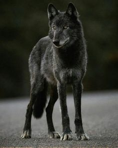 Beautiful black wolf #wolfphotos