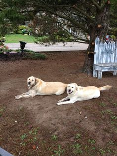Brother and sister golden labs protecting their surroundings! www.walterstheatre.com