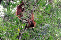 5 Reasons to Avoid Palm Oil. Gunung Leuser National Park, National Parks, Borneo, Sumatran Orangutan, Orangutans, International Date Line, Polynesian Islands, Animal Graphic, Large Animals