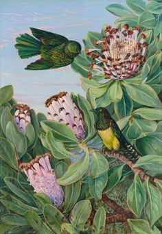Protea and Golden-Breasted Cuckoo, of South Africa by Marianne North Framed Art Print Magnolia Box Size: Extra Large Illustration Botanique, Illustration Blume, Botanical Illustration, Framed Art Prints, Painting Prints, Canvas Prints, Botanical Drawings, Botanical Prints, Marianne North