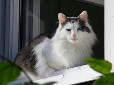 Fluffy cat on a window.