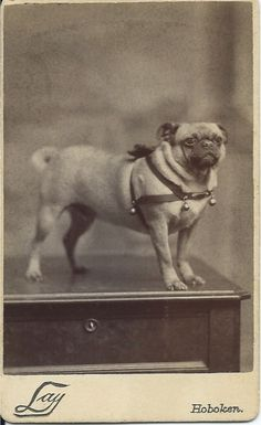 c.1880 cdv of handsome pug in leather harness with bells, a bow and an engraved name plate. Photo by Herman Lay, 204 Washington St., Hoboken, N.J. From bendale collection